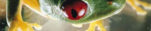 cropped-red-eyed-tree-frog.jpg